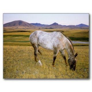 Appaloosa Indian horse graze on grasslands Post Card