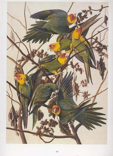 John James Audubon Bird Print Carolina Parakeet Extinct