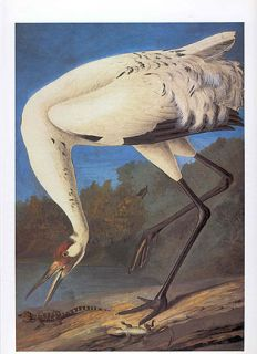 John James Audubon Bird Print Wood Ibis