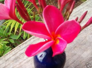 Plumeria Cutting 15 Kaneohe Sunset