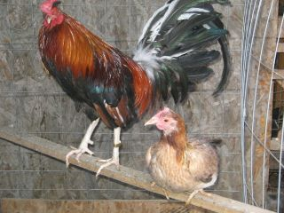 DINK FAIR WHITE LEG KELSO BROOD PAIR !! GAME FOWL , GAMEFOWL,GAMECOCK