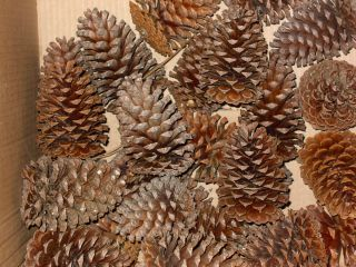 Pine Cones Lot of 25 Long Needle Pine from Kill Devil Hills NC