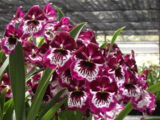 Miltoniopsis Lennart Karl Gottling Orchid Plant 2 Spikes