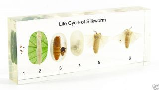 Life Cycle of Silk Moth Specimen