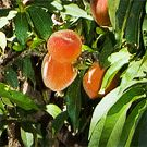 Georgia Peach Dwarf Tree 1 2 ft Fruit Flowering Tree Winter Sale