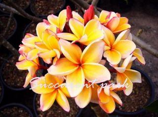 Plumeria Penang Peach Plant