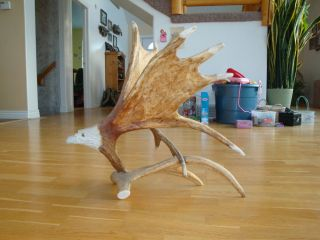 Moose Antler Shed Eagle