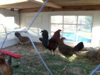 McClean Hatch Game Chicken Hatching Eggs Pre Sale