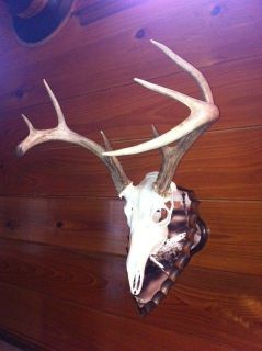 European deer/antelope skull mount plaques in Lost Camo