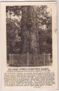 Orlando Florida RPPC Postcard Giant Cypress in Big Tree Park Real