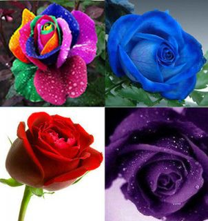 80 ROSE SEED Rainbow Red Purple blue Flower seeds Great Gift For Your