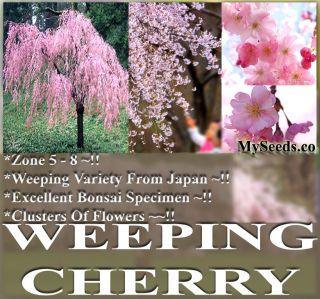 BULK JAPANESE Weeping Cherry Tree Seeds Prunus subhirtella pendula