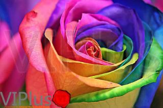 Rainbow Rose Flower Seeds Your Lover Multi color Plants Home Garden